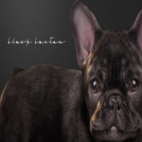 20200501 Manly Weekend [Black Bantam] Black French Bulldog V2 Promo Photo